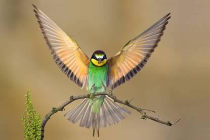 bird-asas