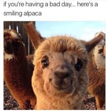 alpaca que ri